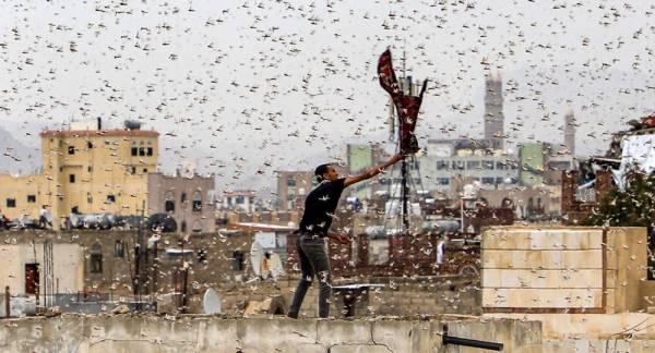 استنفار سعودي لمواجهة أسراب جراد قادمة من اليمن وعمان