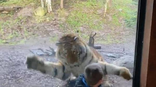 نمر يرعب طفلا بهجوم مباغت.. وفيديو يرصد لحظة الانقضاض